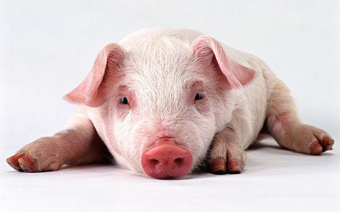pig_web